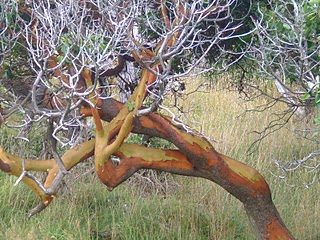 A twisted coastal Arbutus tree
